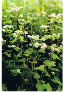 La pianta del grano saraceno con i piccoli fiori