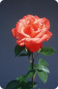 Una rosa con un meraviglioso fiore